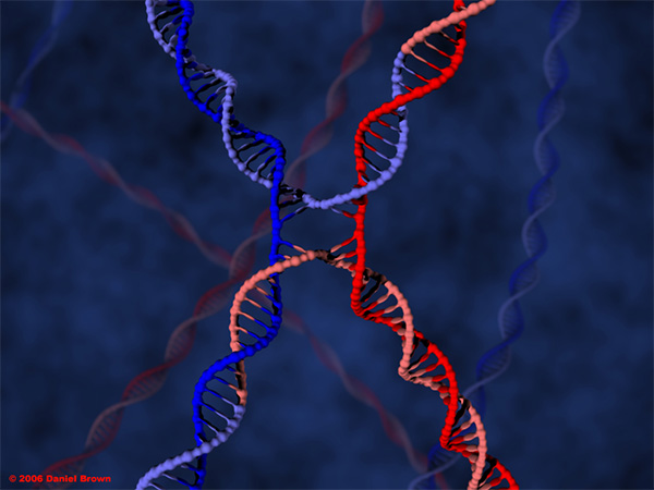 «Структура Холлидея»— промежуточный этап обмена участками гомологичных хромосом