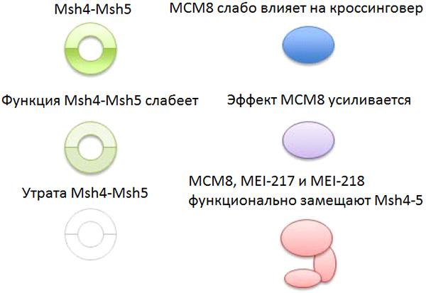 Один из возможных сценариев замещения комплекса Msh4-Msh5 комплексом MCM8-MEI-217-MEI-218