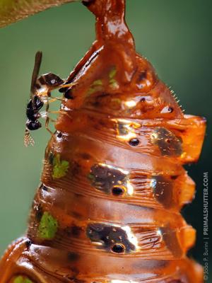 Оса-наездник Melittobia sp. откладывает яйца в гусеницу