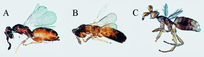 Рис. 2. Внешний вид самок и самцов ос-наездников Melittobia australica