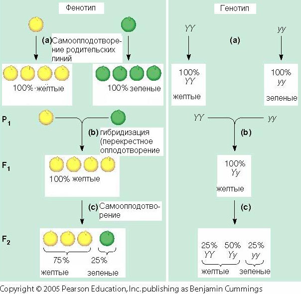 Схема опытов Менделя по скрещиванию гороха с желтыми и зелеными семенами (оригинал рисунка— с сайта www.mun.ca)