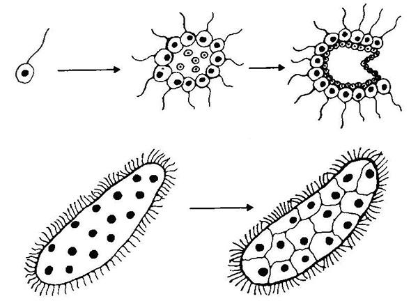 Рис. 4. Две основные теории происхождения многоклеточных животных