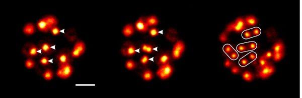Рис.3. Синхронное деление ядер у креолимакса.