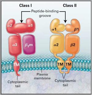 Рис. 2. Схематическое изображение молекул ГКГ на мембране клетки