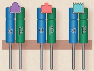 Рис. 3. Пептиды соответствуют по форме щелям в молекулах ГКГ