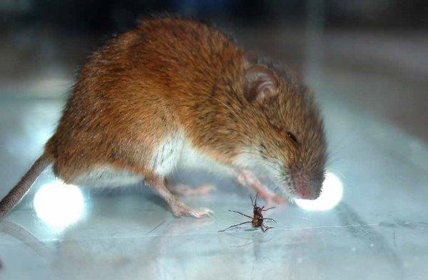 Рис.1. Муравей брызгает кислотой вглаза мыши