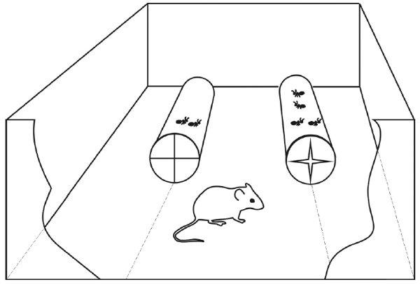 Рис.3. Установка для проведения второй серии экспериментов. Каждой мыши предоставлялся выбор между двумя прозрачными тоннелями сразным числом муравьев.