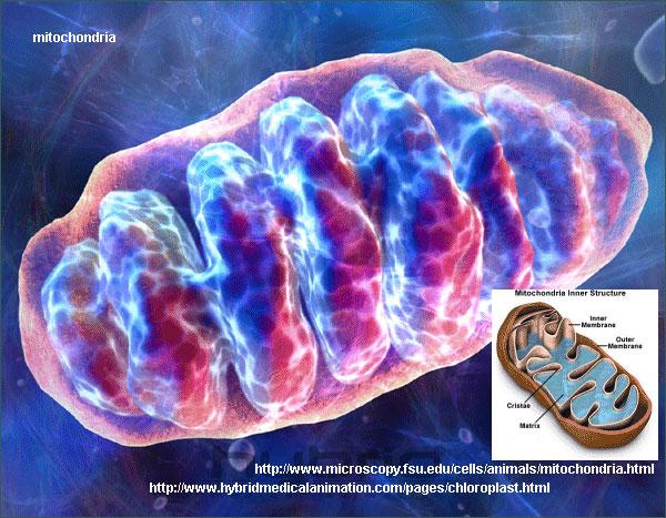 Митохондрии— энергетические станции клетки. Они имеют собственный набор генов, вкоторых записана информация оферментах, участвующих вклеточном дыхании. Значимые мутации вмитохондриальных генах могут привести кгибели клеток и организма. Но клетка каким-то образом освобождается от мутантных митохондрий. Рисунок с сайта www.ndpteachers.org