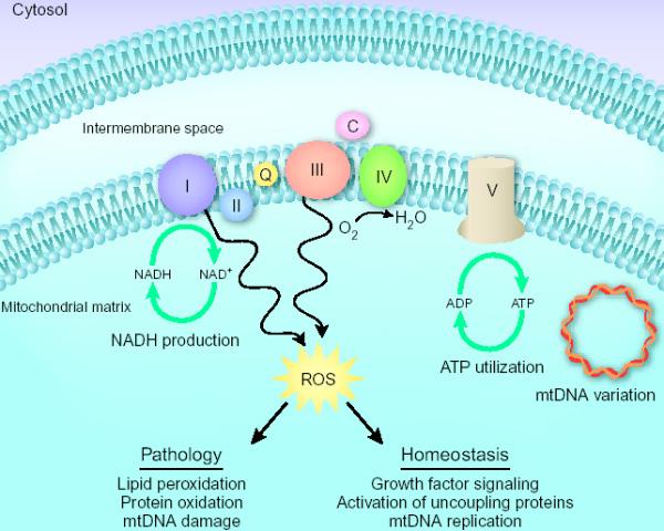 Схема клеточной дыхательной