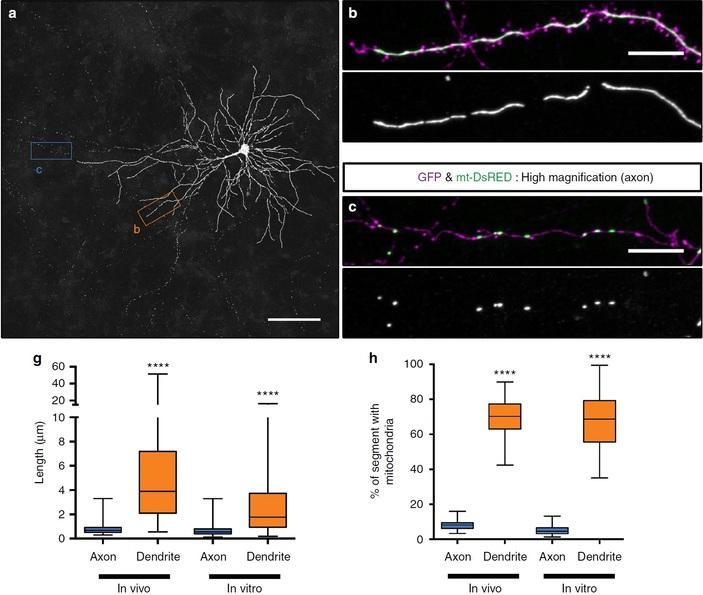 <b>Рис. 1.</b> Пирамидальный нейрон и митохондрии