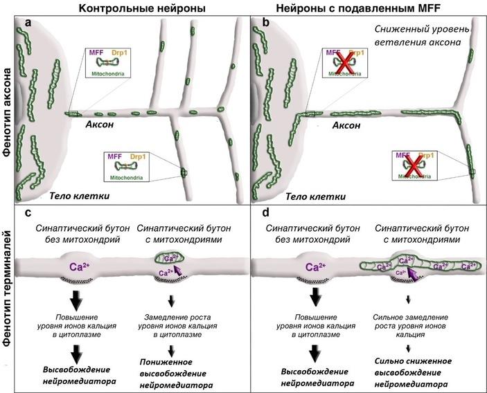 Рис. 5. Общая схема влияния размера митохондрий, контролируемого Mff, на функции и морфологию нейрона