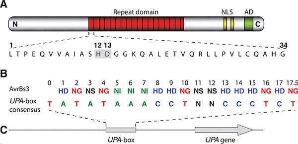 A— структура одного из белков TAL. B– соответствие вариабельных пар аминокислот нуклеотидам сайта связывания. C— схема строения генаUPA, регулируемого данным белкомTAL. Рис. из обсуждаемой статьи Boch etal. вScience