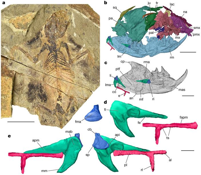 Слуховые косточки среднеюрского планирующего зверька вилеволодона были устроены как уутконоса