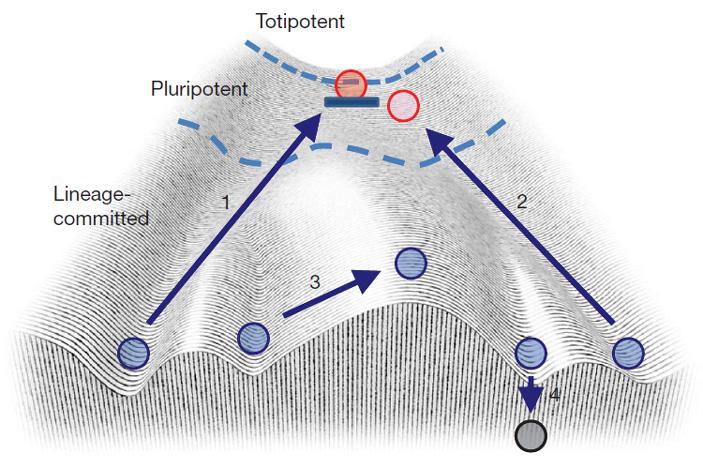 Рис. 3. Применение ландшафта Уоддингтона крепрограммированию клеток