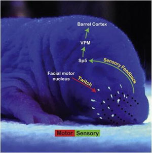 Схема нервных путей, обеспечивающих передачу сенсорного сигнала от вибрисс в кору головного мозга