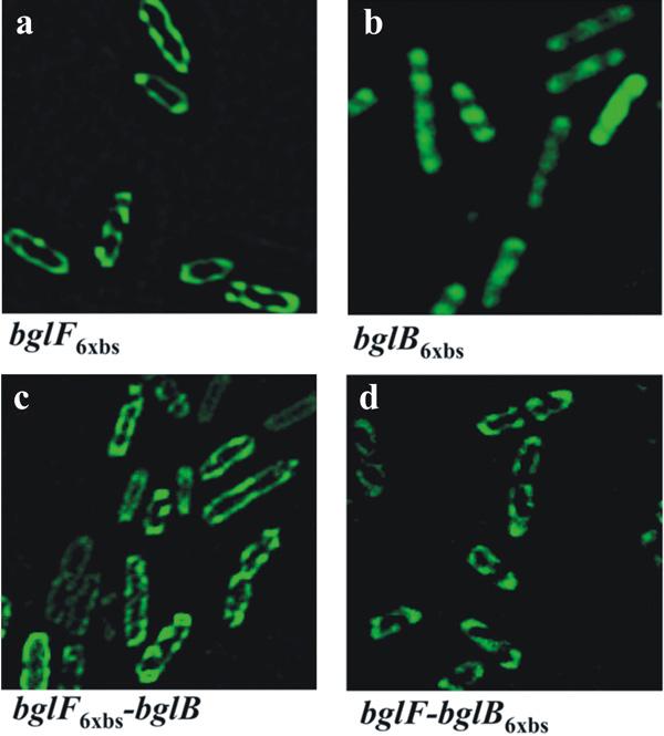 Рис.4. Локализация полицистронной мРНК, кодирующей два белка (мембранный и цитоплазматический) определяется цистроном, который кодирует мембранный белок. Иллюстрация из обсуждаемой статьи вScience