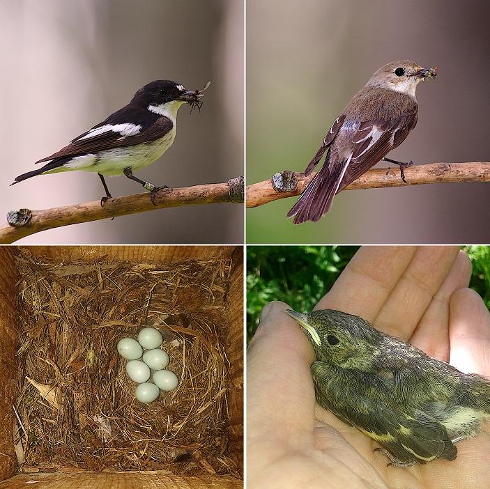 Рис. 1. Мухоловки-пеструшки: самец, самка, гнездо, яйца, птенец.