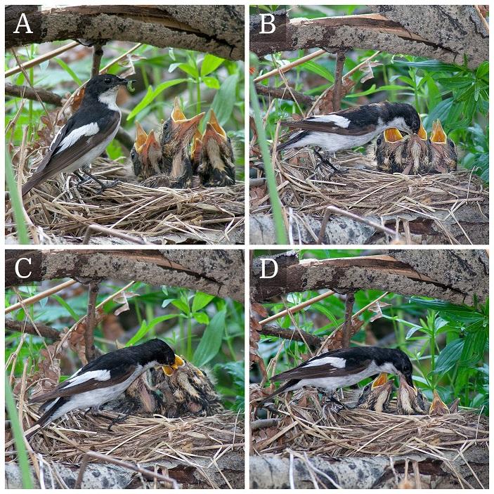 Рис. 2. самец мухоловки-пеструшки кормит чужих птенцов