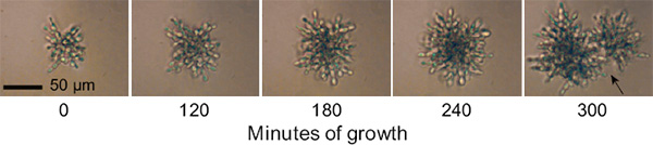Процесс деления кластера, фотографии сделаны с интервалом в 1 час