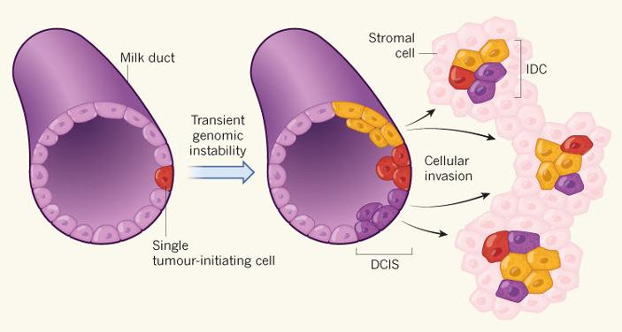 Эволюция отдельных клеток при развитии рака молочной железы