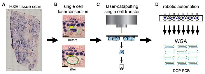 Рис. 3. Схема топографического секвенирования отдельных клеток