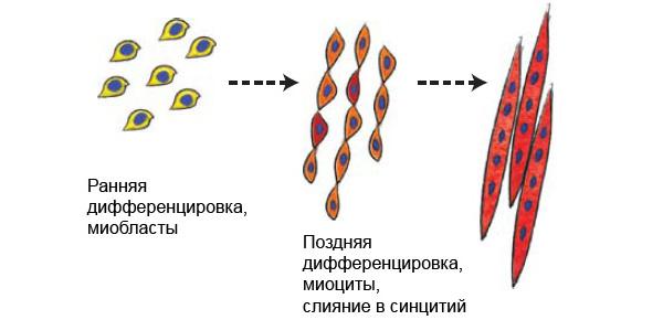 Рис. 1. Иллюстрация дифференциации миобластов и слияния их в единый многоядерный синцитий