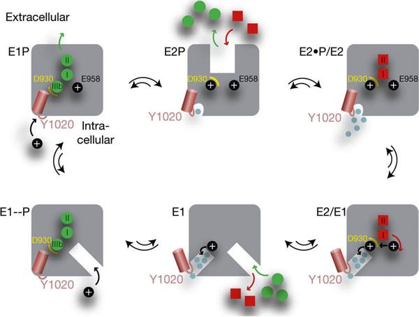 Предполагаемый механизм работы натрий-калиевого насоса.  Зеленые кружки - ионы натрия, красные квадратики...