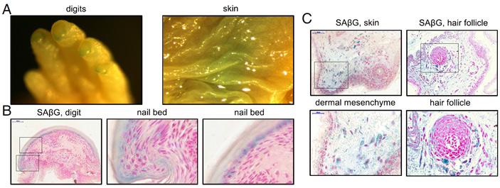 Рис. 3. Результаты β-галактозидазного окрашивания