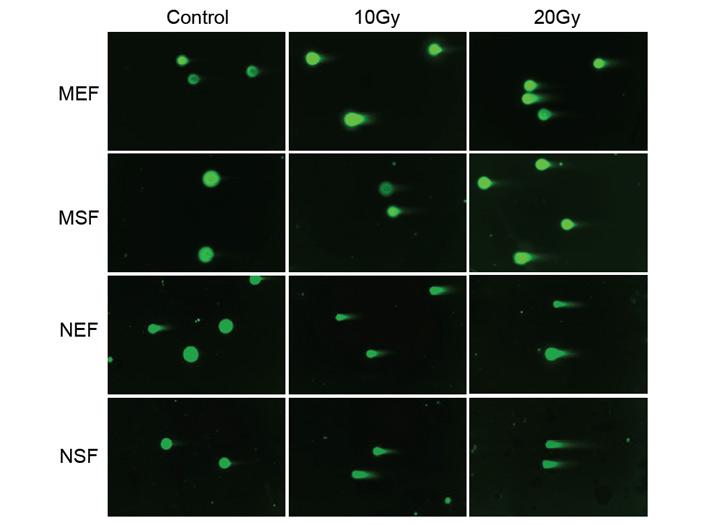Рис. 6. Метод ДНК-комет в клетках мыши и голого землекопа
