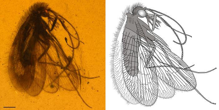 Хоботковые сетчатокрылые из бирманского янтаря были участниками неудачного эволюционного «эксперимента»