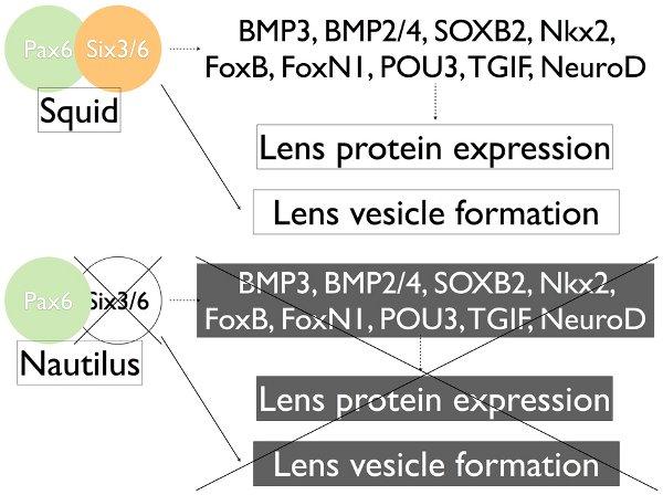 Рис.3. Схема влияния генов на развитие хрусталика у кальмаров и каракатиц (Squid) и унаутилуса (Nautilus).