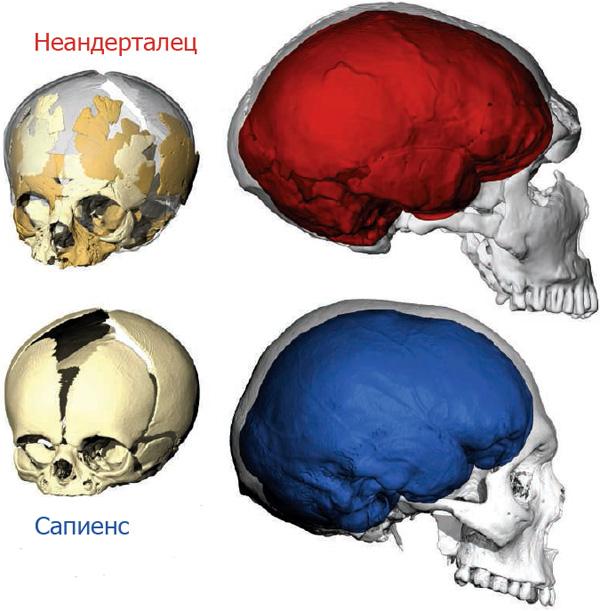 https://elementy.ru/novosti_nauki/431455/Mozg_u_neandertaltsev_ros_inache_chem_u_sapiensov