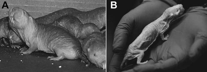 Рис. 1. Молодые голые землекопы (слева) и 30-летний патриарх— размножающийся самец (муж «царицы»)