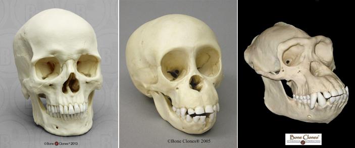Рис. 2. Череп взрослого мужчины (слева) по ряду признаков больше похож на череп детеныша шимпанзе (вцентре), чем взрослого самца (справа)