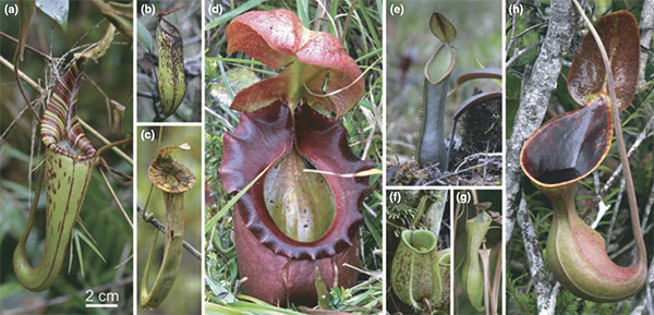 Хищное р... Nepenthes Lowii