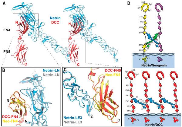 Рис. 3. Комплекс между нетрином-1 и DCC