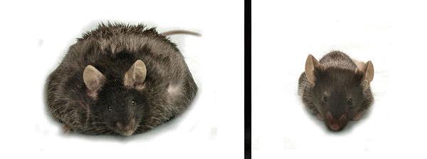 Толстая и тощая мыши— у обеих нарушена регуляция аппетита
