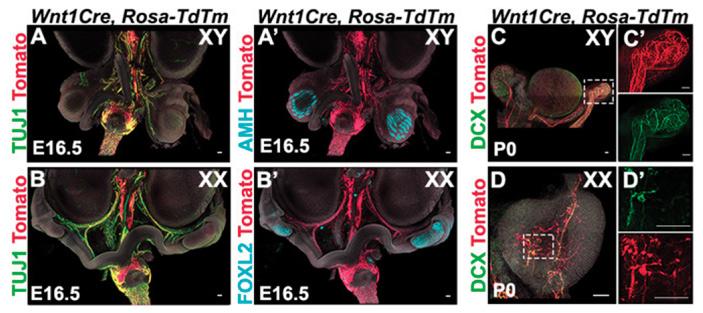 Рис. 4. Нейроны и их предшественники мигрируют в половые железы из нервного гребня