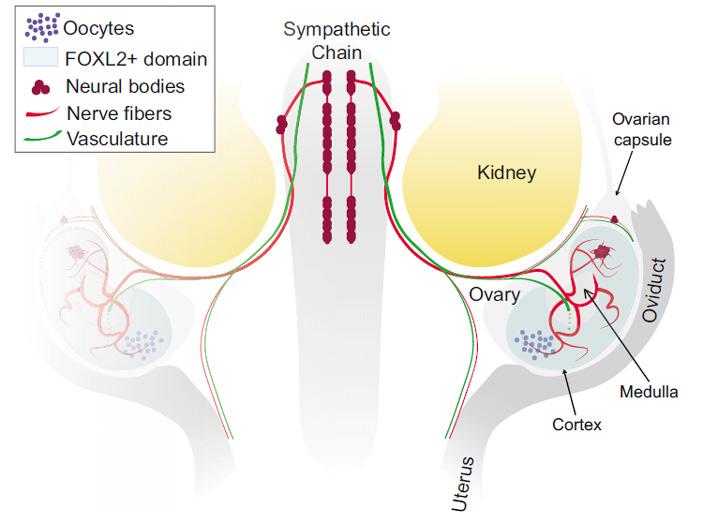 Рис. 5. Схема иннервации развивающегося яичника мыши