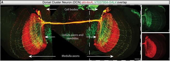Поведенческая индивидуальность дрозофил порождается случайными вариациями вразвитии мозга