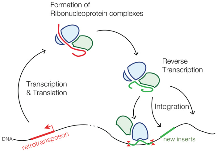 Рис. 2. Перемещение ретротранспозонов по ДНК