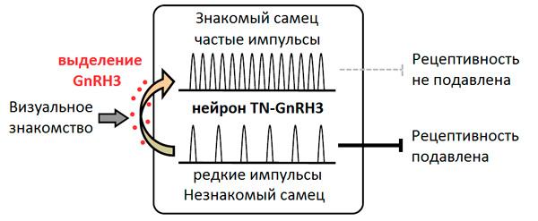 Влияние визуального знакомства c самцом на половую рецептивность самки