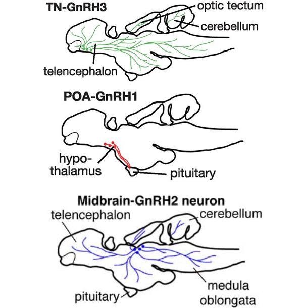 Расположение трех групп нейронов, производящих гонадолиберины, в рыбьем мозге