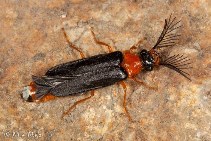 Найденный в бирманском янтаре светящийся жук проливает свет на эволюцию светляков