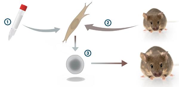 Схема экспериментов Яманаки