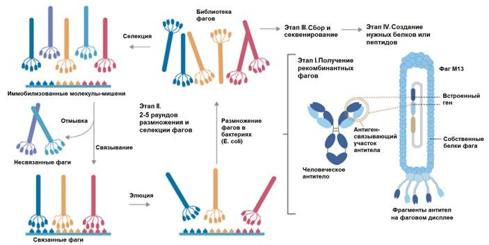 Рис. 5. Схема получения антител методом фагового дисплея