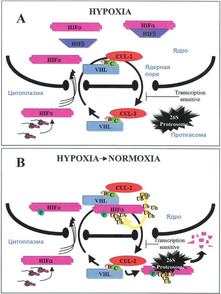 Рис. 2. Общая схема контроля реакции клеток на доступность кислорода