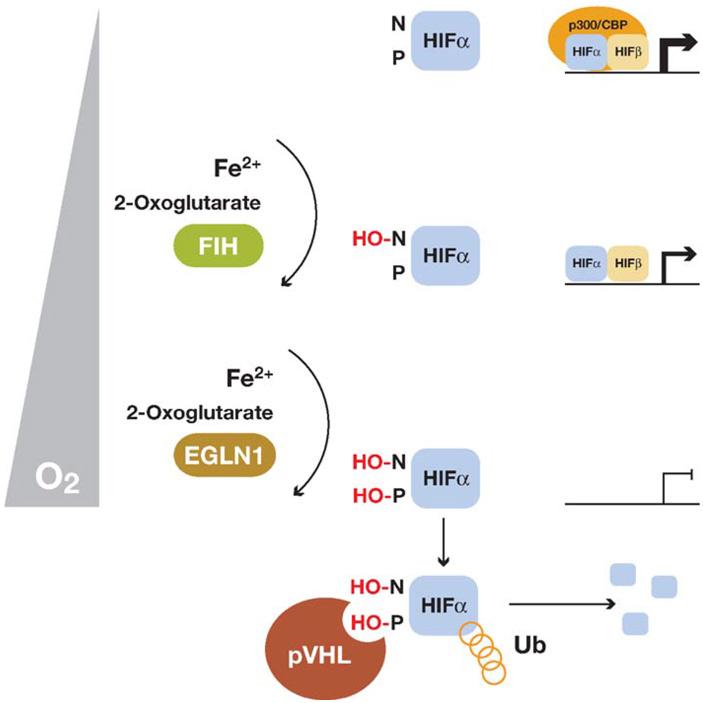 Рис. 3. Схема регулирования функции фактора HIF гидроксилазами