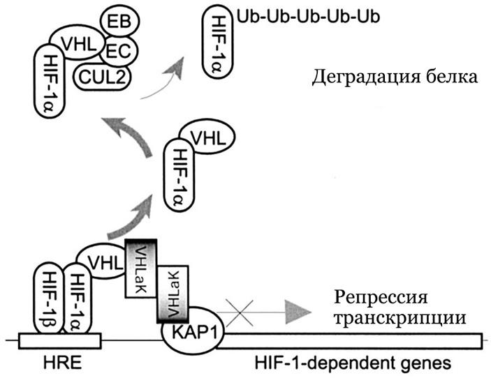 Рис. 4. Взаимодействие VHL и HIFα, реализующееся только при нормальном уровне доступа кислорода