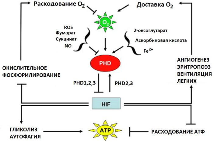 Рис. 5. Общая схема взаимных регуляций компонентов системы реакции на гипоксию